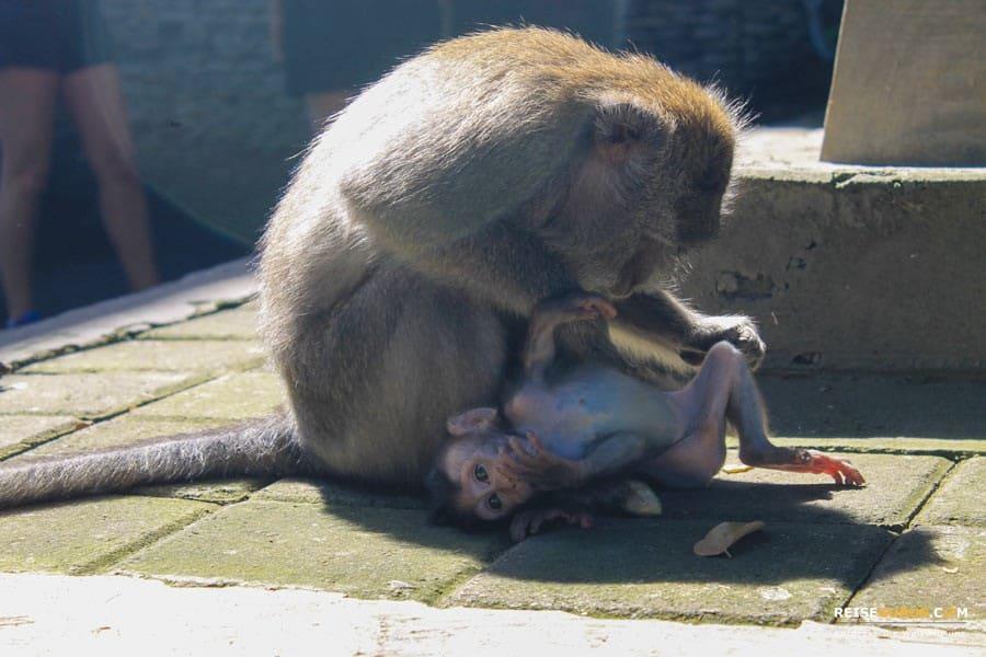 Monkey Forest Ubud Affen