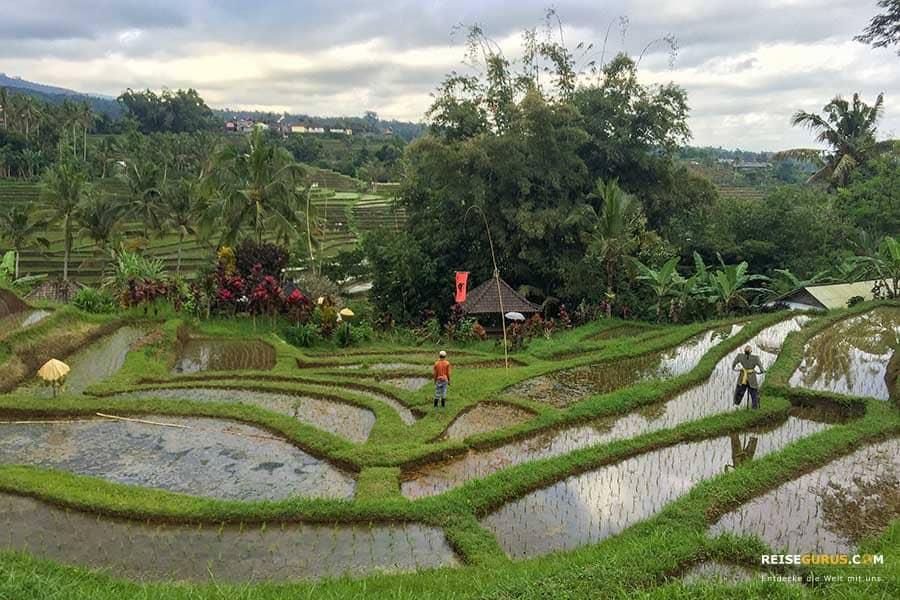 Jatiluwih Reisfeldern auf Bali