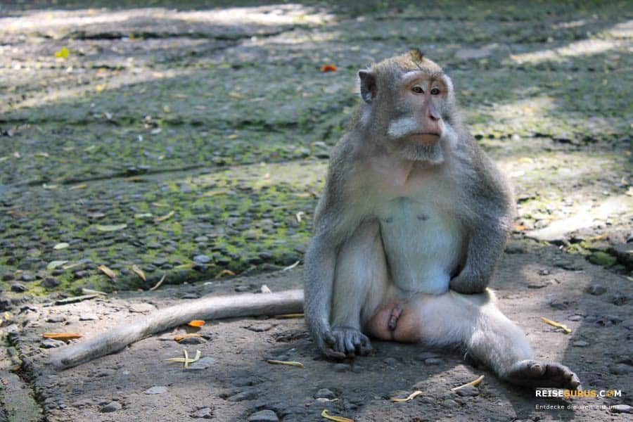 Affen im Monkey Forest Ubud