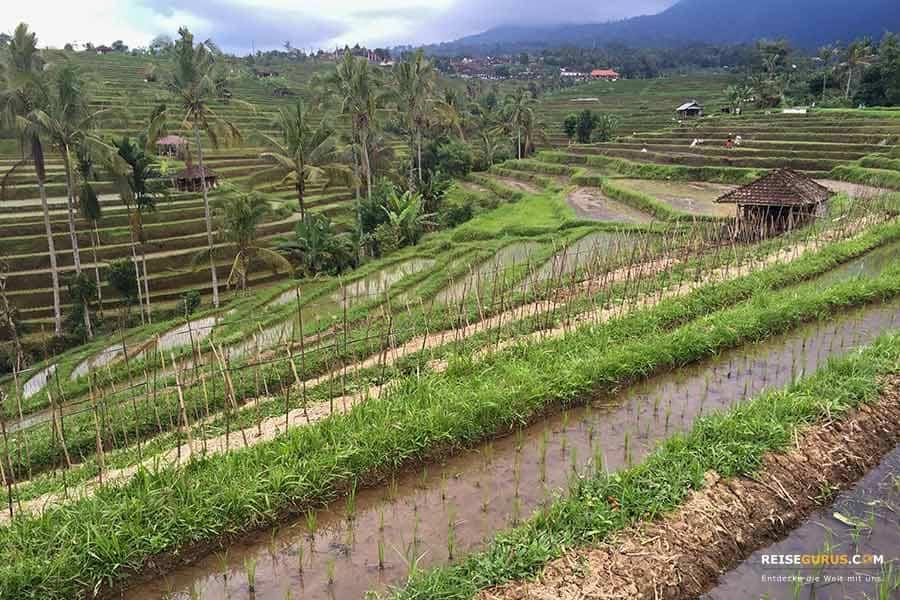 Die 4 schönsten Reisterrassen in Ubud