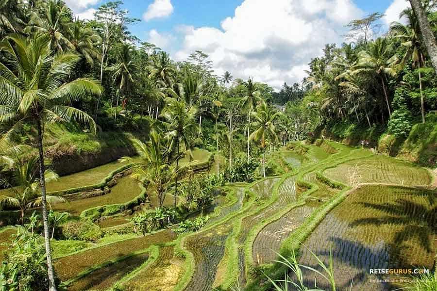 Reisterrassen in Ubud Tegallalang