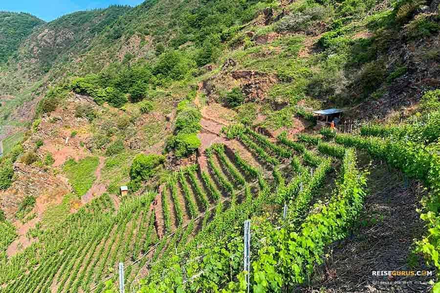Calmont Klettersteig und Höhenweg Mosel Weinwanderung