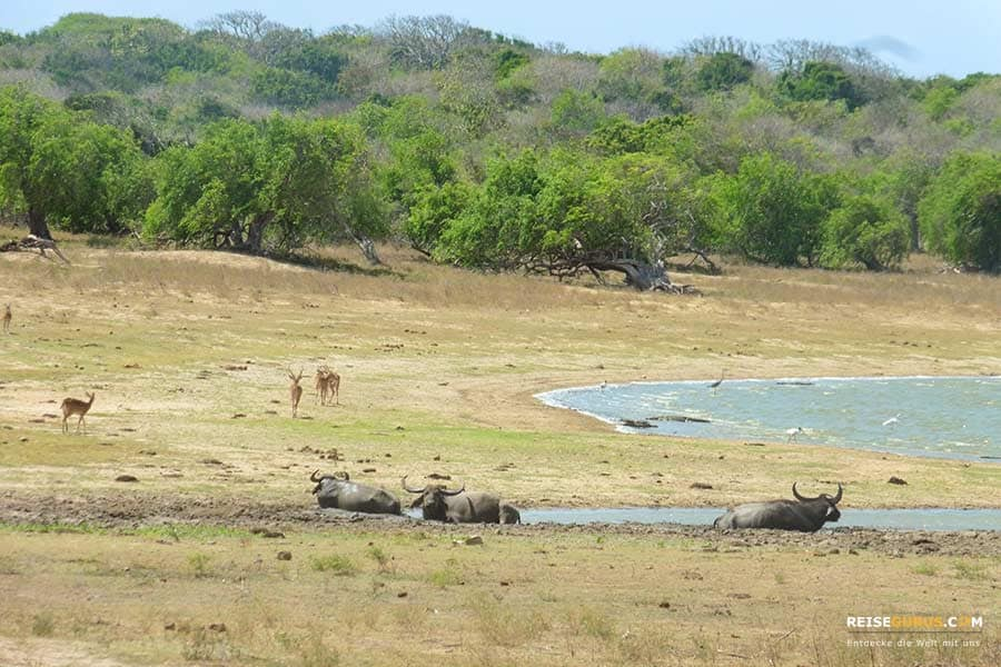 Organisierte Yala Nationalpark Safari Tour