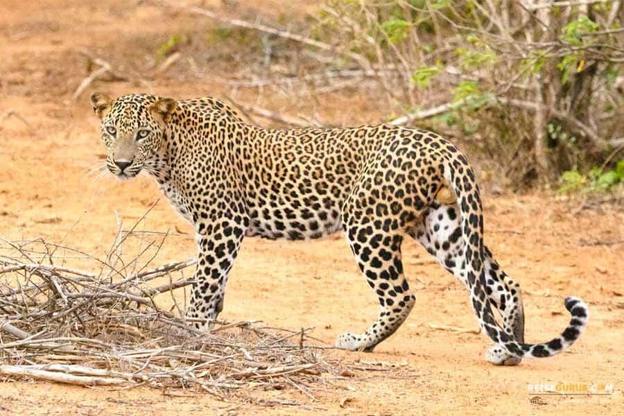 Yala Nationalpark Safari Sri Lanka