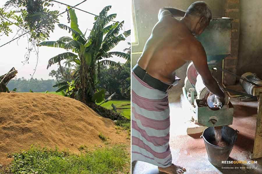Reisbauern Sri-Lanka