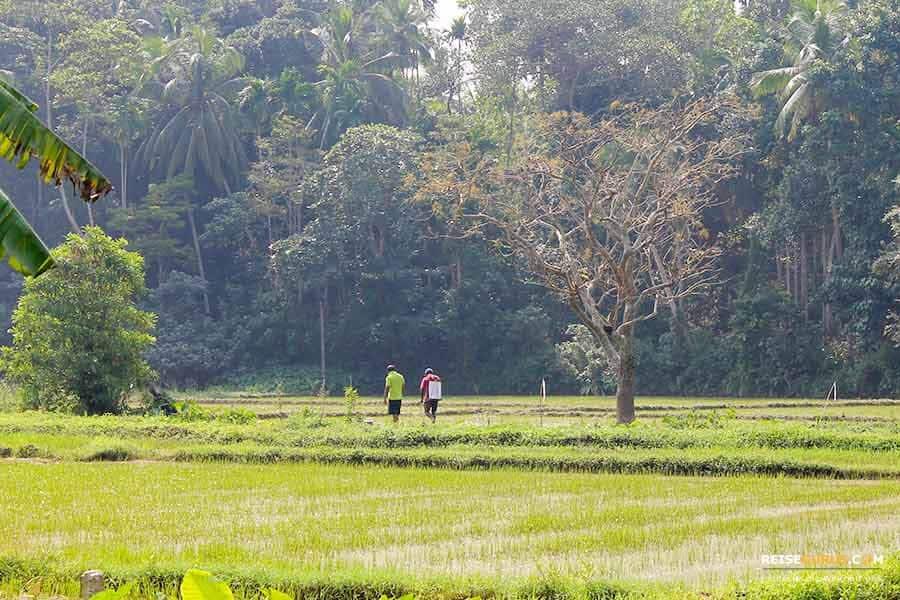 Reisfelder Sri Lanka