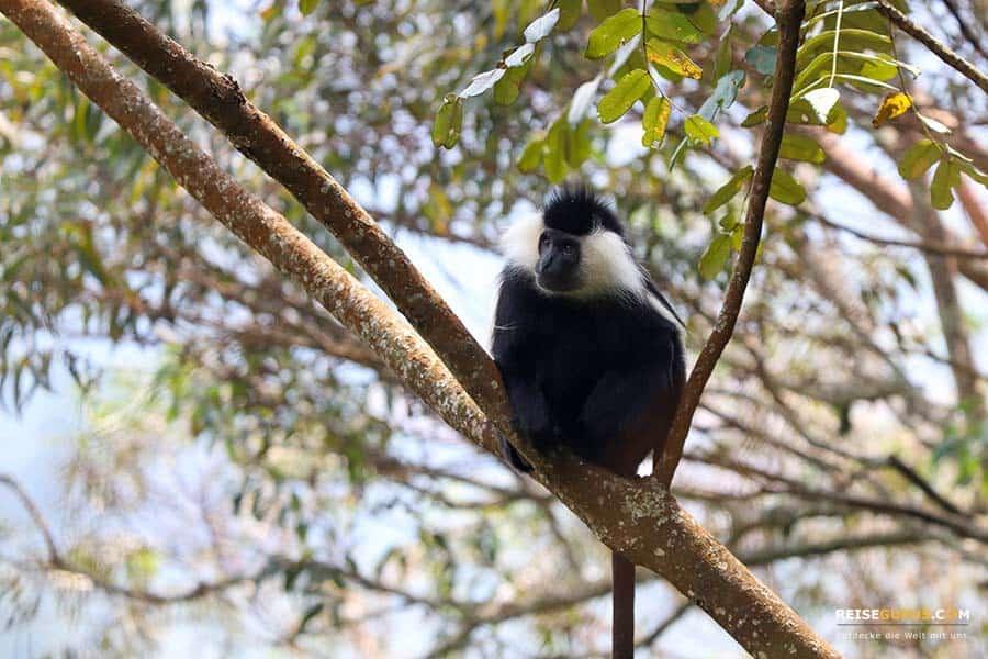 Nyungwe Forest Affen