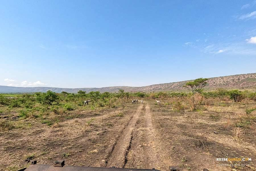 Ruanda Safari auf eigene Faust