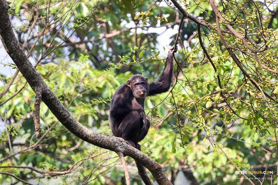 Schimpansen Trekking Ruanda
