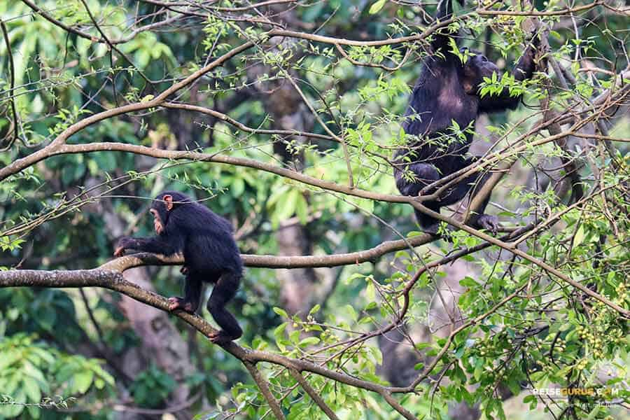 Schimpansen Trekking in Ruanda