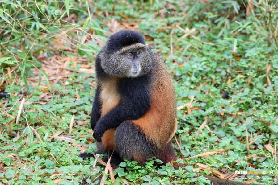 Golden Monkeys Volcanoes Nationalpark