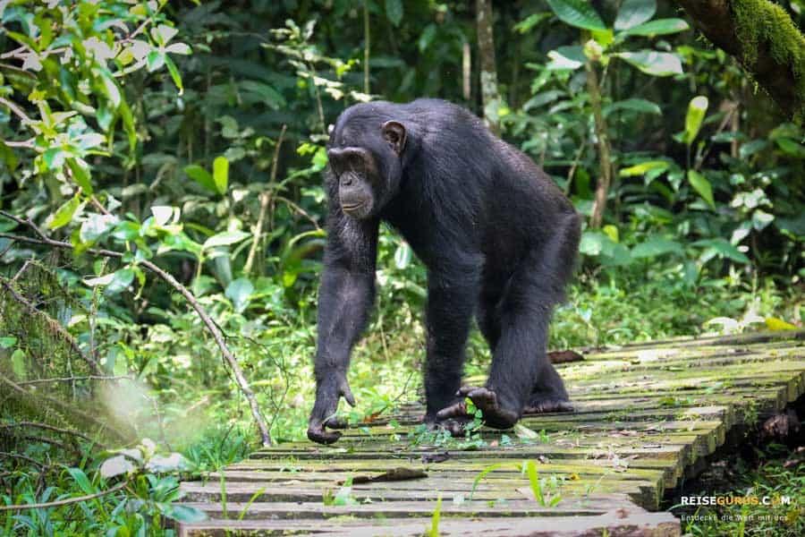 Schimpansen Tracking