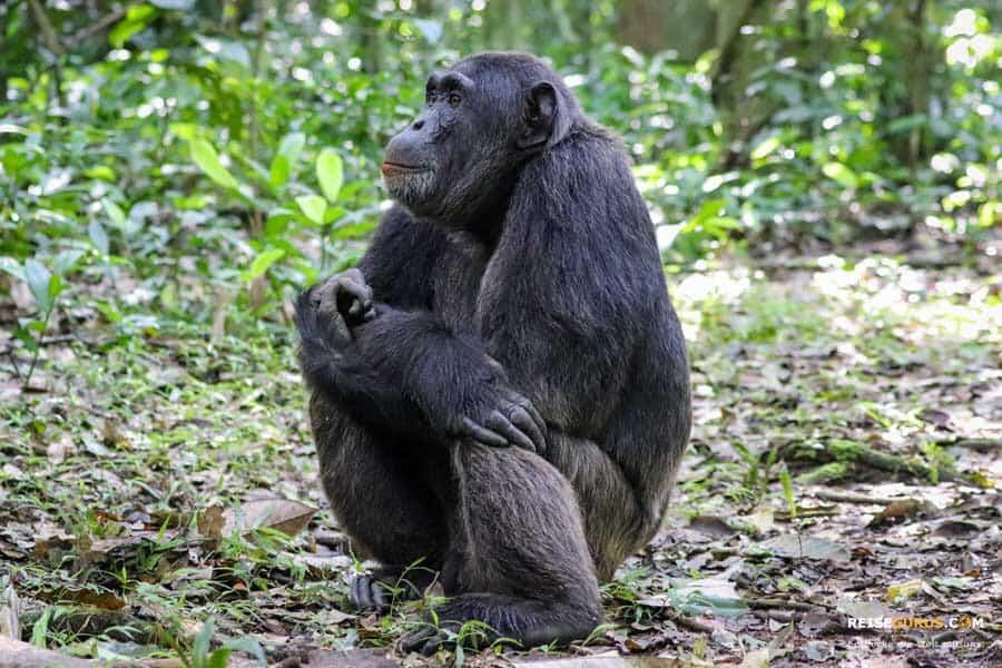 Schimpansen Trekking Regeln