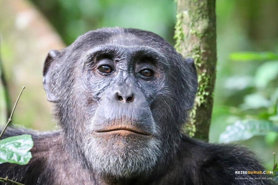 Schimpansen Trekking in Uganda