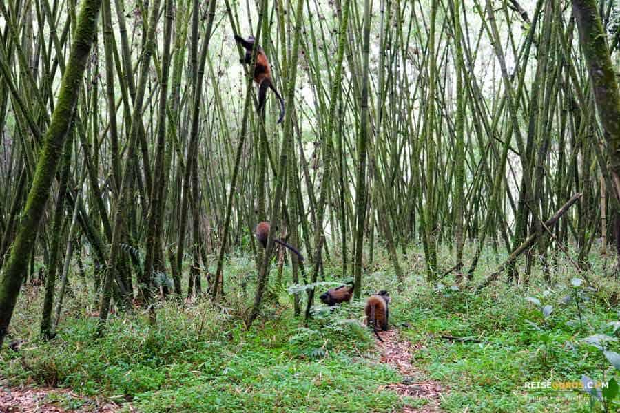 Golden Monkeys im Volcanoes Nationalpark