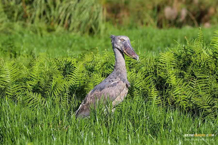 Lake Mburo Nationalpark Uganda