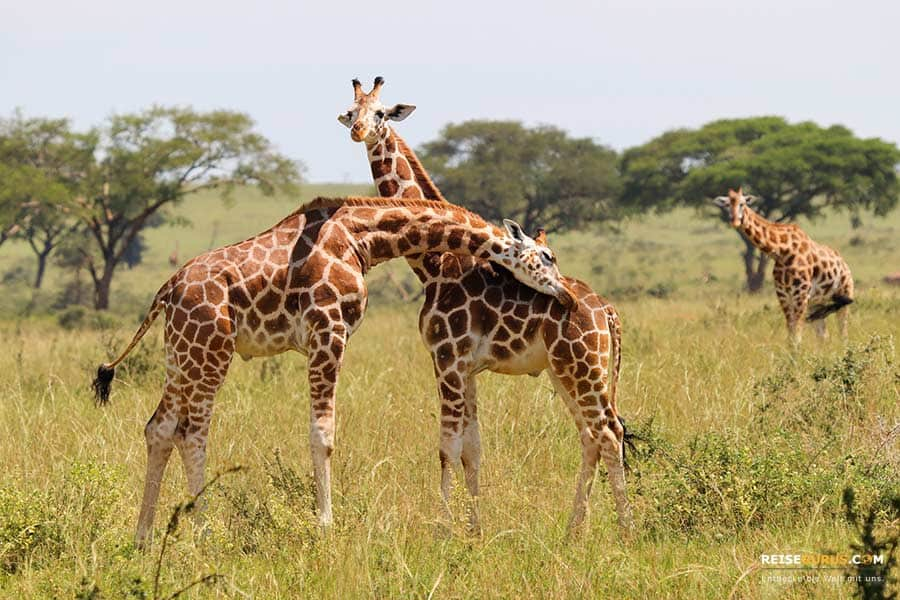 Murchison Falls Nationalpark in Uganda