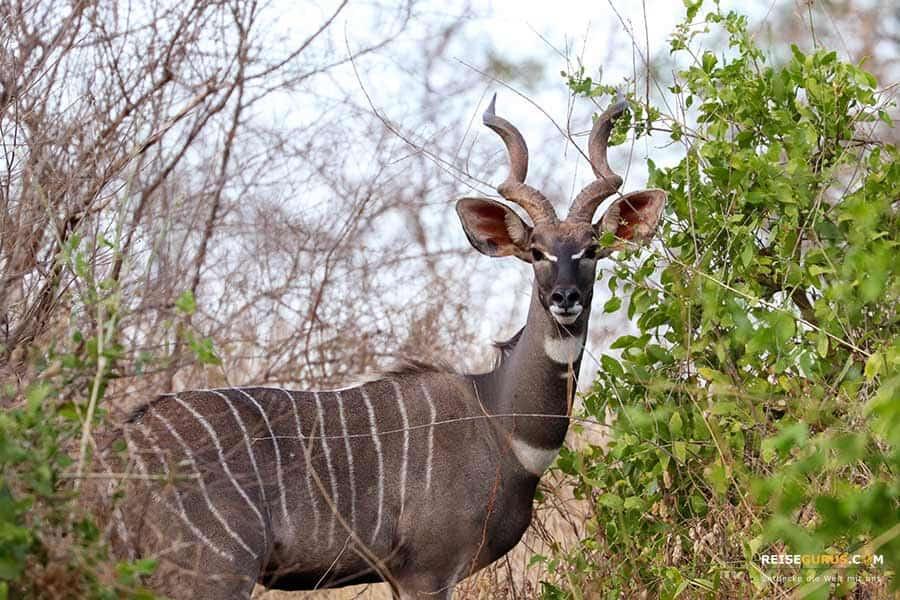 Safari Tsavo West Nationalpark Kenia