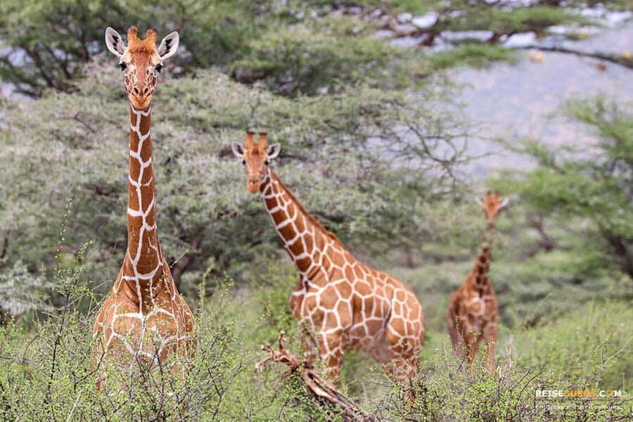 Samburu Nationalpark Safari